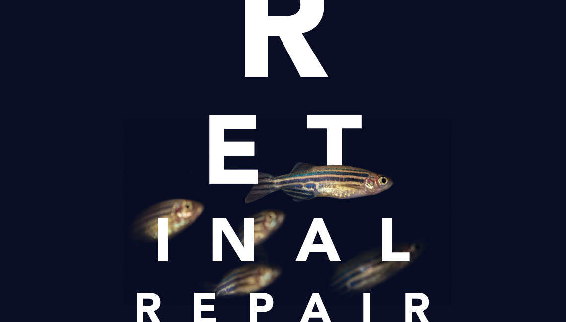 Retinal Repair Through a Fish-Eye Lens